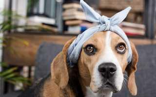 Течка у собак: сколько длится, когда начинается