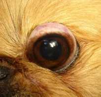 У каких собак выпадают глаза: причины и лечение