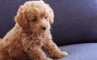Плюшевая собака порода название породы