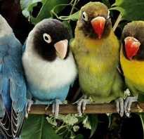 Большие попугаи для дома