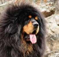 Тибетский мастиф все о породе