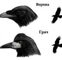 Отличие ворона от грача