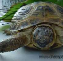 На сколько вырастают красноухие черепахи