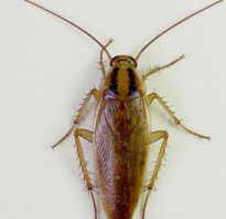 Рыжий таракан тип развития