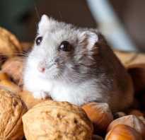 Можно ли хомякам орехи