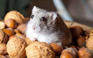 Можно ли хомякам жареный арахис
