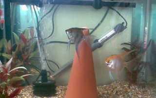 Как размножаются аквариумные рыбки скалярии