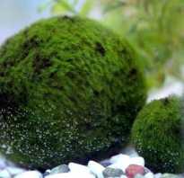 Кладофора шаровидная содержание в аквариуме: фото-видео обзор