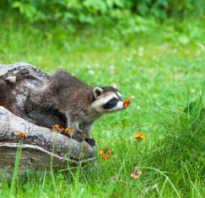 Как избавиться от енотов