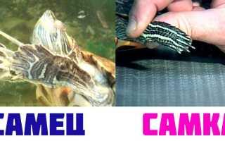 У красноухой черепахи длинные когти