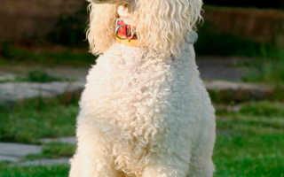 Порода собак королевский пудель
