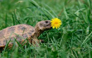 Черепаха месяц не ест