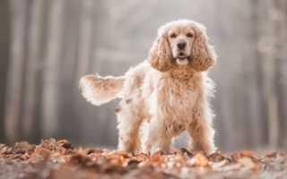 Сколько живут собаки английский кокер спаниель