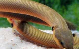 Рыба змея аквариумная