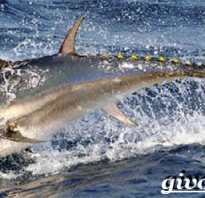 Тунец описание рыбы